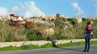 Sheep and Goats at Dingli Cliffs, Malta