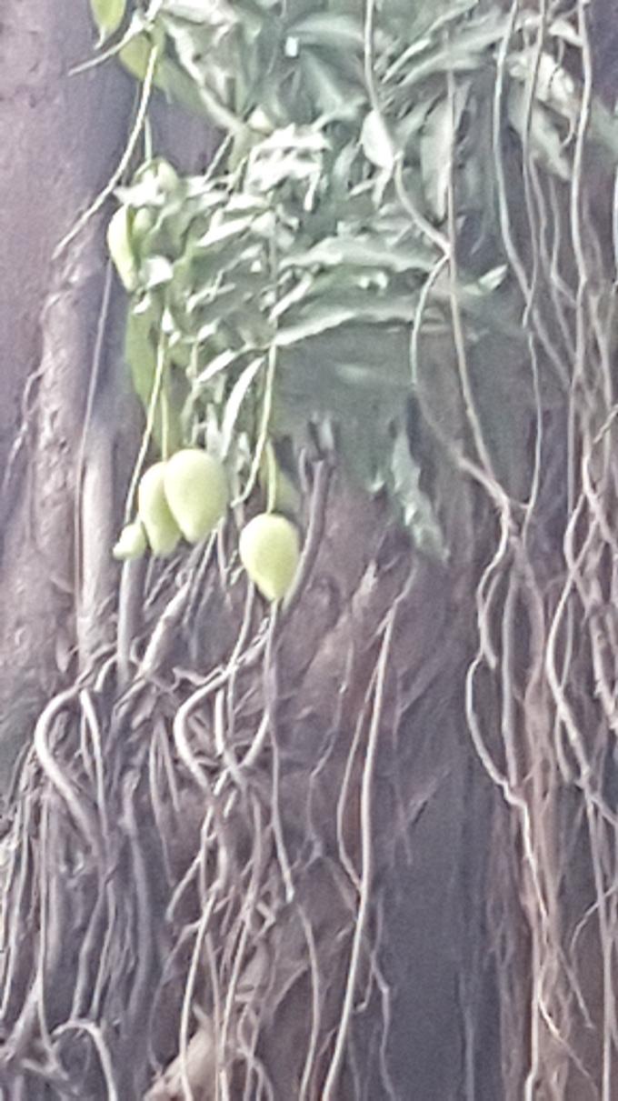 Mangos, Close Up